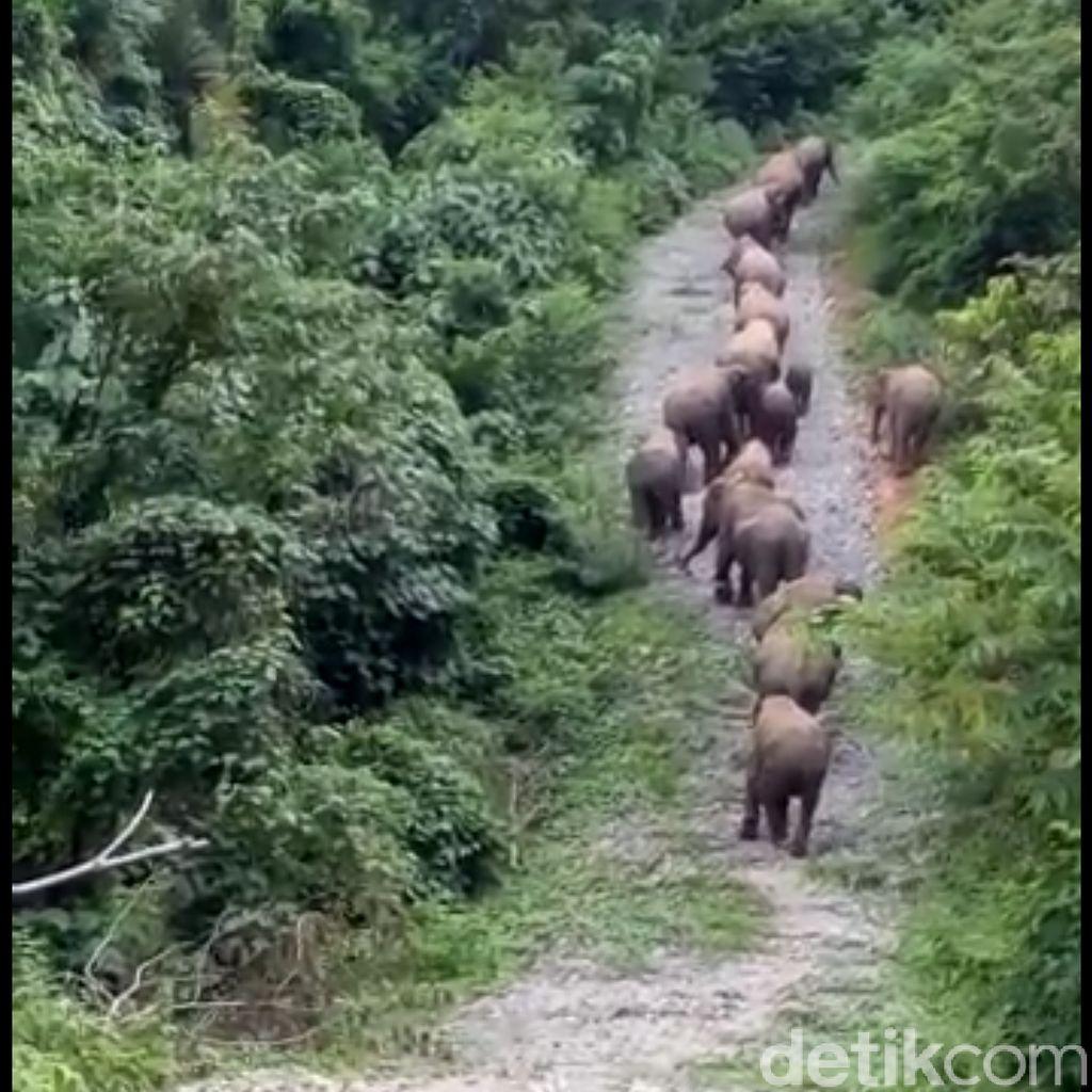 11 Gajah Masuk ke Perkebunan Warga di Riau
