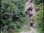 Gajah Dibunuh di Aceh dan Gadingnya Hilang