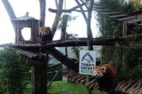 Intip Kelucuan Red Panda Suka Goyang Dangdut di Taman Safari Bogor