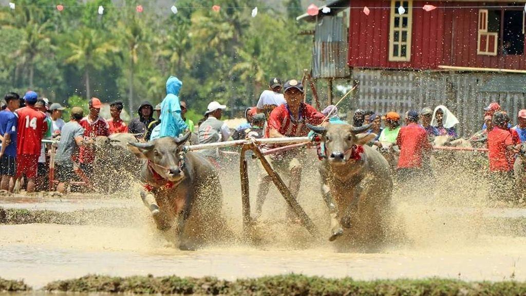 Begini Kehebohan Barapan Kebo di Sumbawa