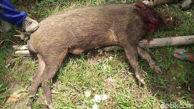 62 Gambar Babi Mati Paling Keren