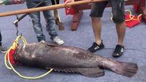 Wah, Ikan Kerapu Jumbo Ini Terjual Hingga 500 Juta Rupiah