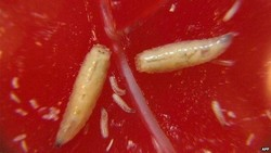 Di tengah gempuran bakteri kebal obat, para ahli berusaha memanfaatkan kembali terapi dari zaman dulu. Salah satunya perawatan luka dengan belatung.