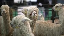 Cuma di Peru, Ada Alpaca Naik Taksi