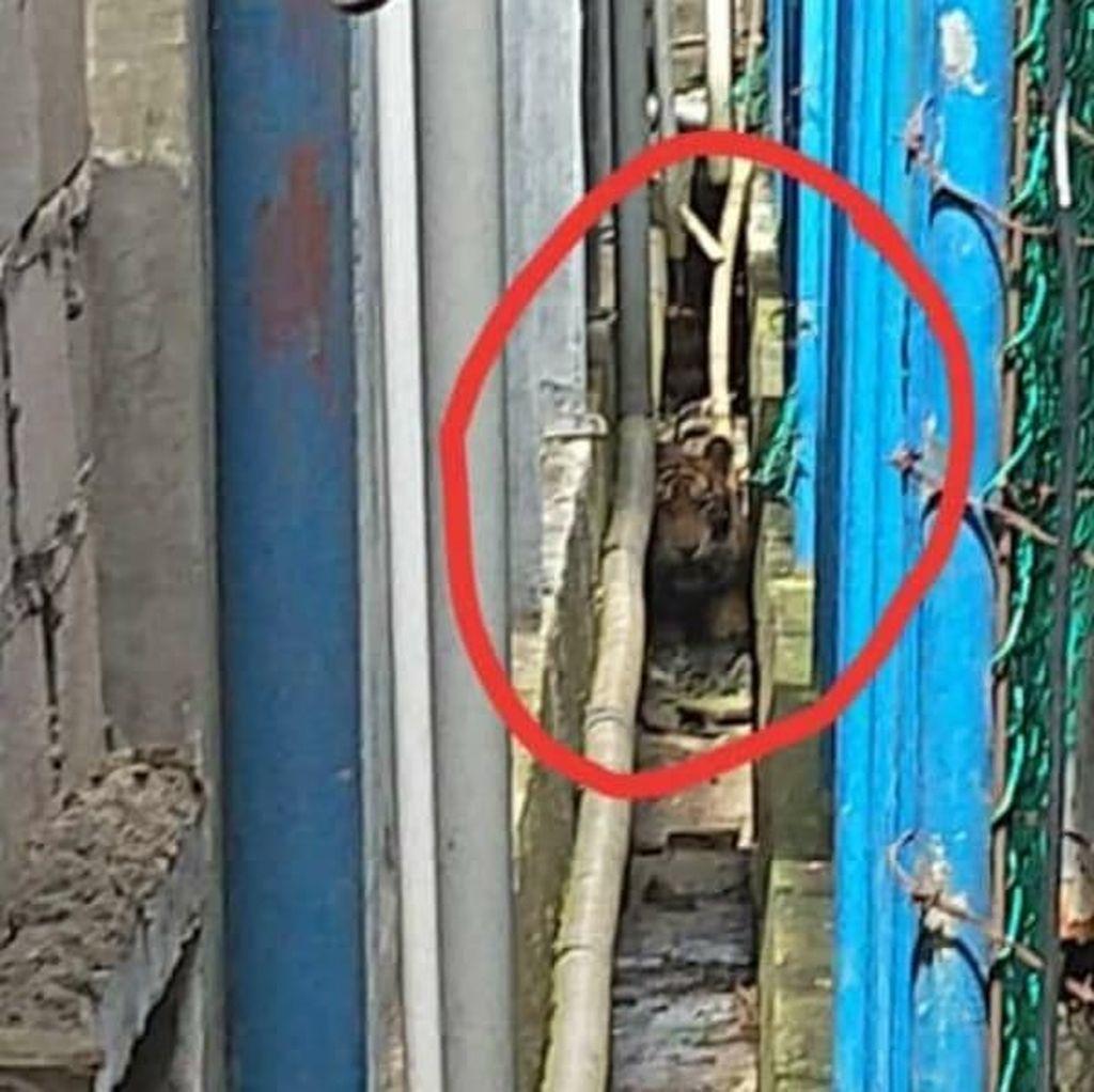 Harimau Liar Masih Terjebak di Kolong Ruko di Riau