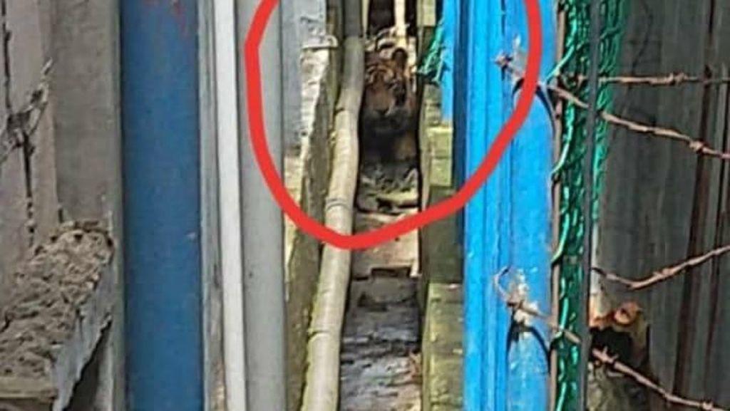 Harimau Liar Terjebak di Ruko Pasar di Riau Jadi Tontonan Warga