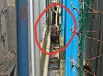 Harimau di Kolong Ruko Ditembak Bius, tapi Belum Bisa Dievakuasi