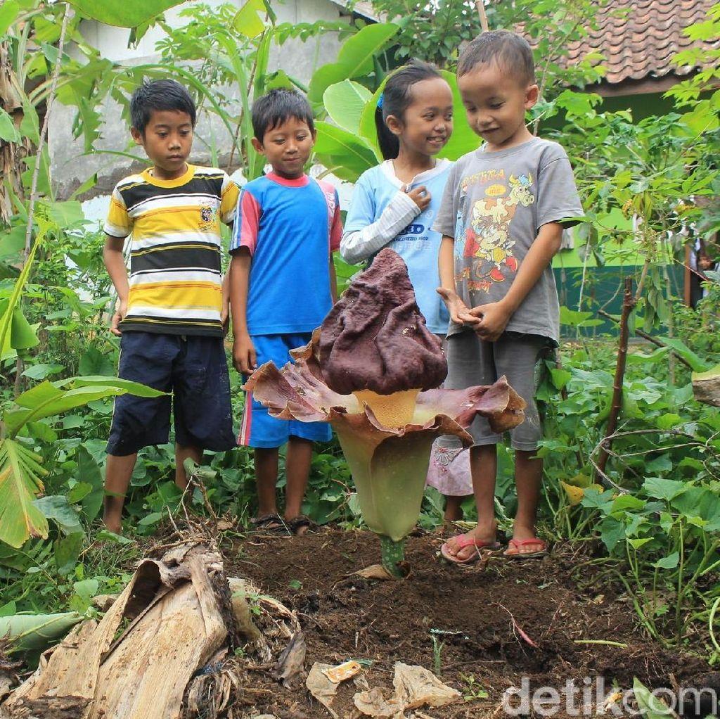 Cerita Bunga Bangkai di Ciamis yang Tak Pernah Muncul di Tempat Sama