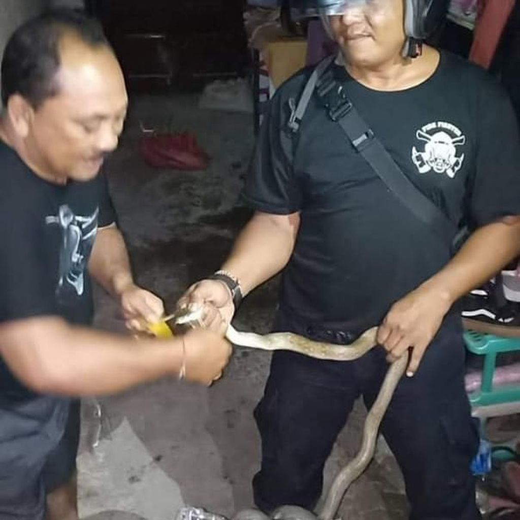 Hii... Ular Kobra Nyelonong Masuk Rumah Warga di Denpasar