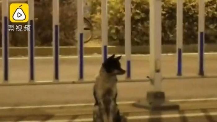 Kisah anjing setia. Foto: Dok. Weibo/Pear Video