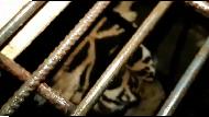 Gelap-gelapan Evakuasi Harimau yang Terjebak di Kolong Ruko