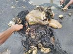 Telan Sampah Bikin Paus Mati di Wakatobi? Ini Analisis LIPI