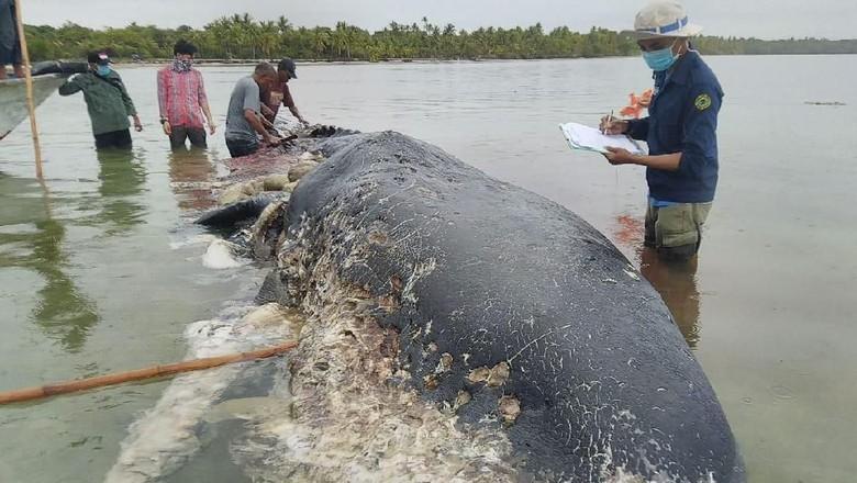 Foto: Isi perut bangkai paus sperma di Wakatobi (dok. istimewa)