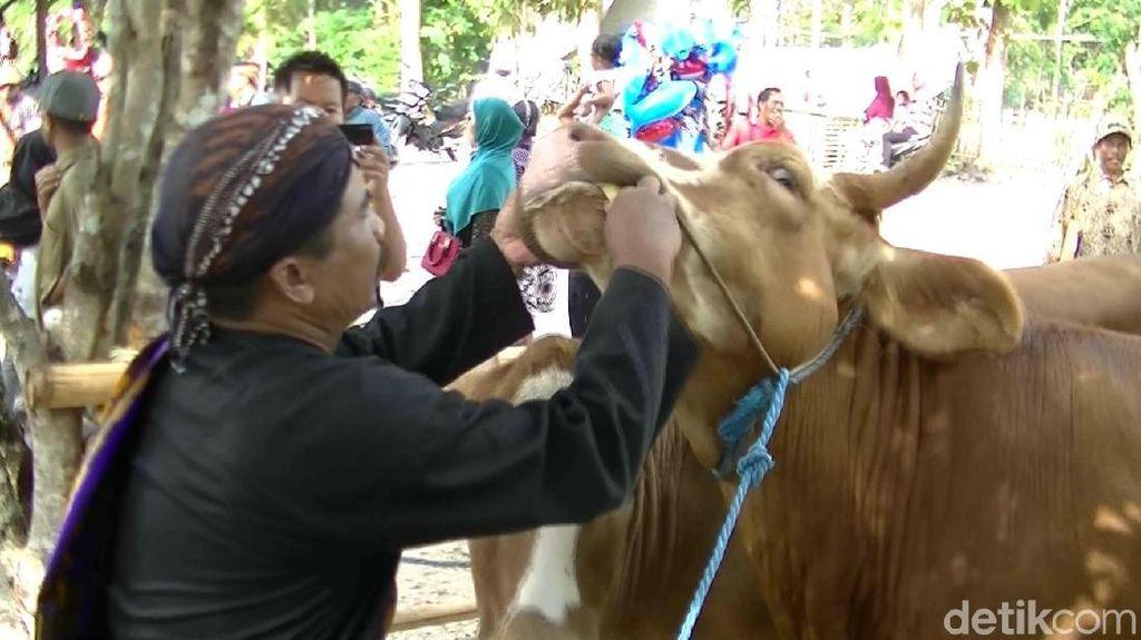 Melihat Tradisi Gumbregan di Gunungkidul, Puluhan Sapi Santap Ketupat