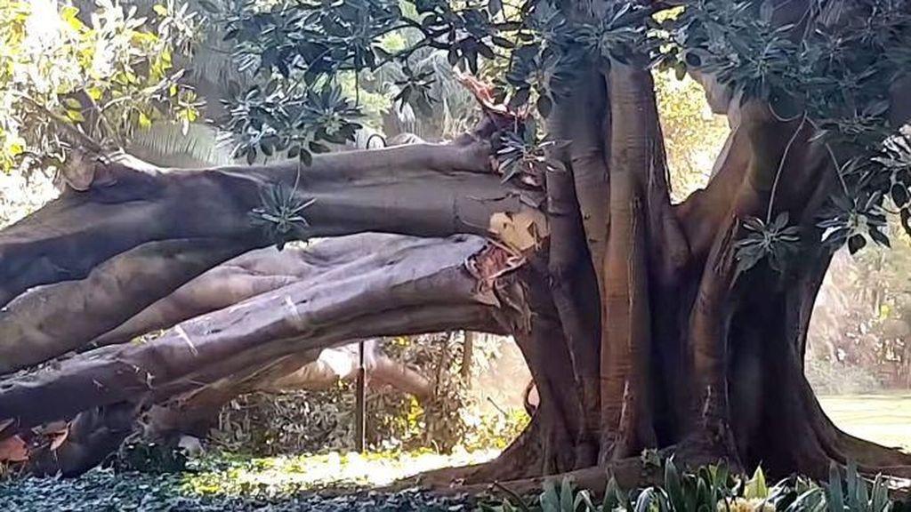 Dahan Pohon Ara Raksasa di Perth ini Tumbang dan Terekam Kamera