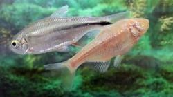 Ikan Mungil Ini Simpan Rahasia Kekuatan Super Regenerasi Jantung
