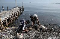 limbah kulit kerang hijau berserakan di Muara Angke