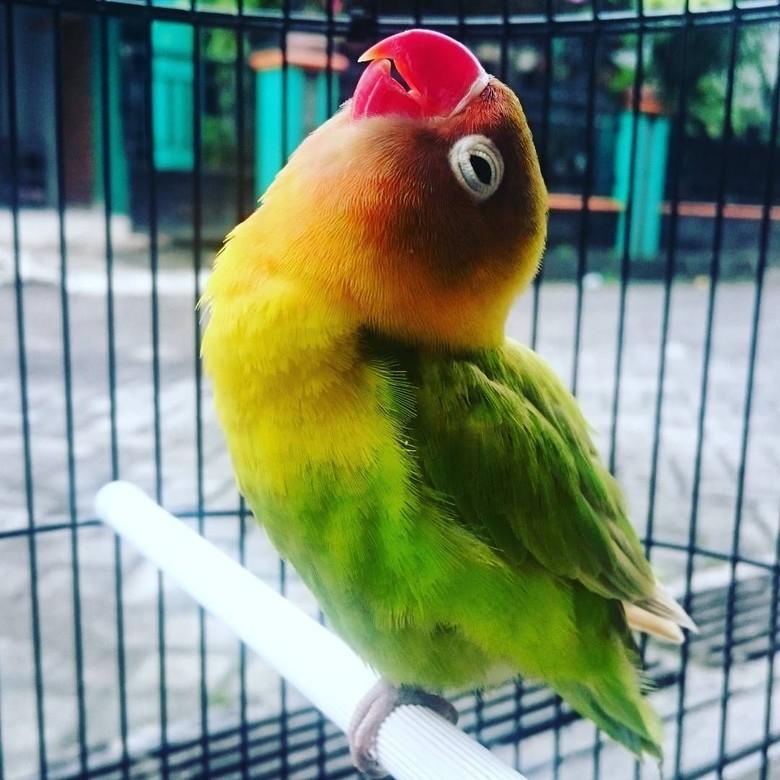 Lovebird Kusumo Mati, Pemilik Tak Menyesal Tolak Tawaran Rp 2 M