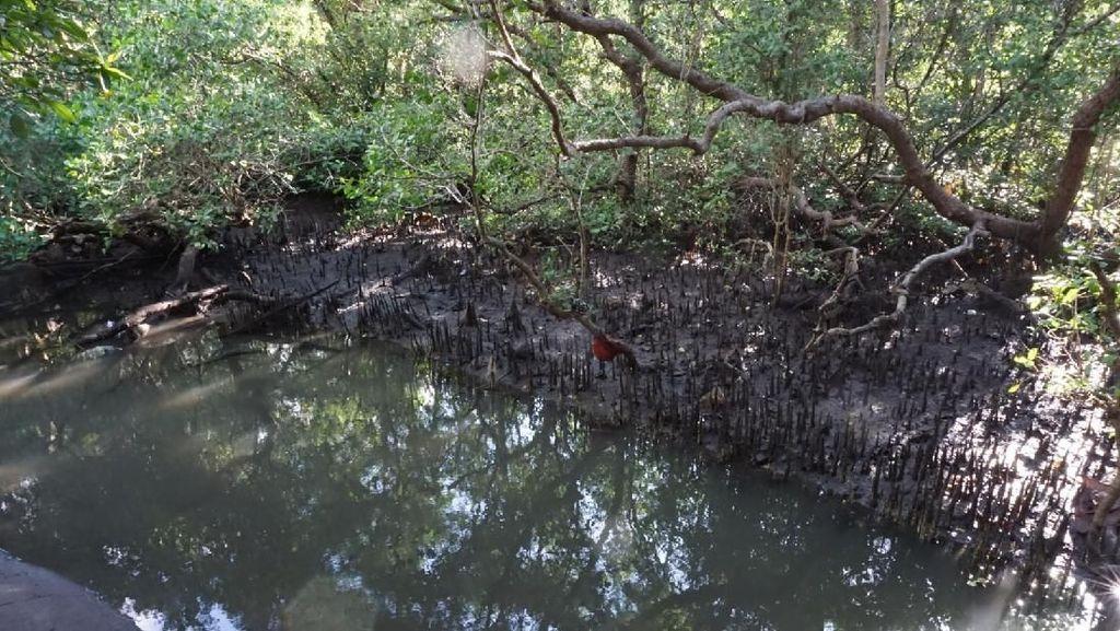 Duh, Banyak Sampah Nyangkut di Akar Mangrove Teluk Benoa