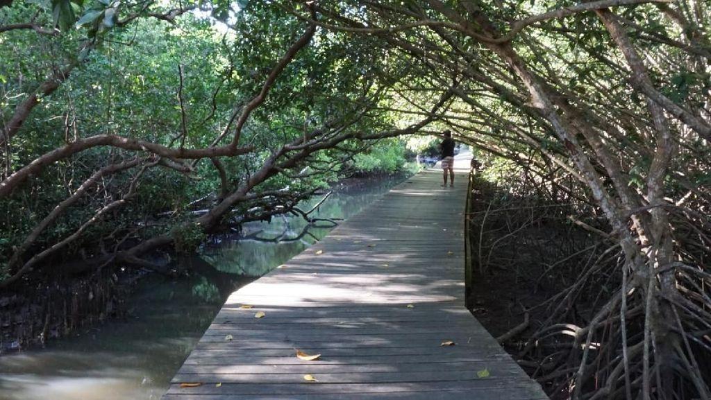 Menengok Mangrove di Benoa yang Bakal Ditata Jadi Taman dan Pusat Studi