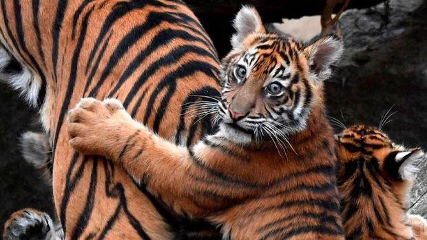 Foto bayi harimau Sumatera di Tierpark Zoo, Berlin, Jerman.