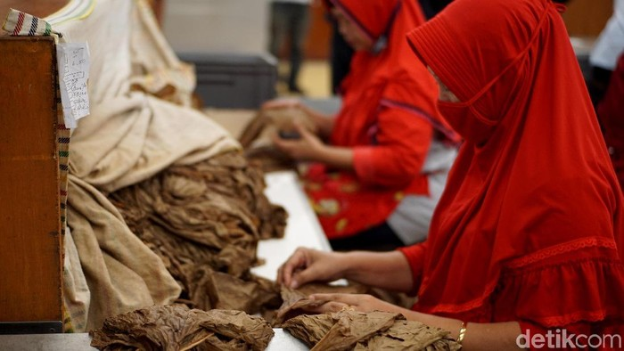 Jember terkenal dengan kualitas tembakaunya. Seperti apa proses pembuatan cerutu asal Jember tersebut? Yuk lihat.