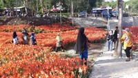 Taman Bunga Amarilis memiliki luas 3.500 meter persegi. Tak hanya melihat bunga-bunga indah, wisatawan juga bisa membeli atau memesan bunga Amarilis. (Pradito Rida Pertana/detikcom)