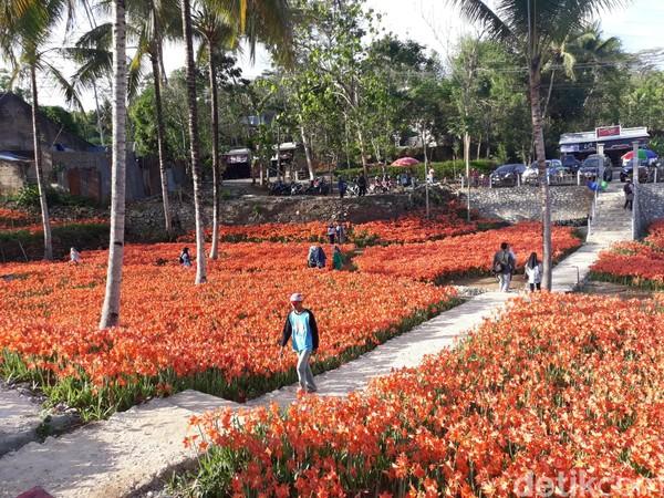 Sukadi memperkirakan Bunga Amarilis di kebunnya tak lama lagi akan bermekaran. Bahkan, mekarnya bunga di kebun seluas 3500 meter persegi ini akan berlangsung hingga pertengahan bulan Desember (Foto: Pradito Rida Pertana/detikcom)