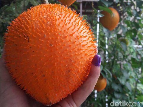 Kacai (Momordica sp). Rasanya seperti buah labuh