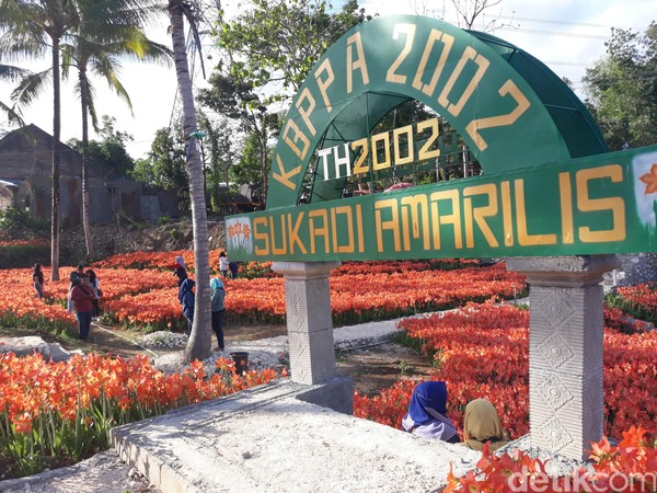 Kebun Bunga Amarilis milik Sukadi di Dusun Ngasem Ayu, Desa Salam, Kecamatan Pathuk, Kabupaten Gunungkidul mulai ramai dikunjungi turis sejak pekan lalu (Pradito Rida Pertana/detikTravel)