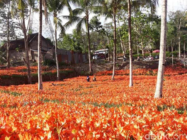Keindahan hamparan bunga amarilis (Pradito Rida Pertana/detikTravel)