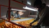 Melihat Eksportir Jeruk Kino di Pakistan