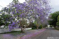 Cantiknya si Jacaranda (Melisa/detikTravel)