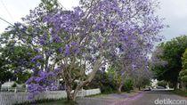 Antara Tabebuya Surabaya dan Jacaranda Australia, Cantik Mana?