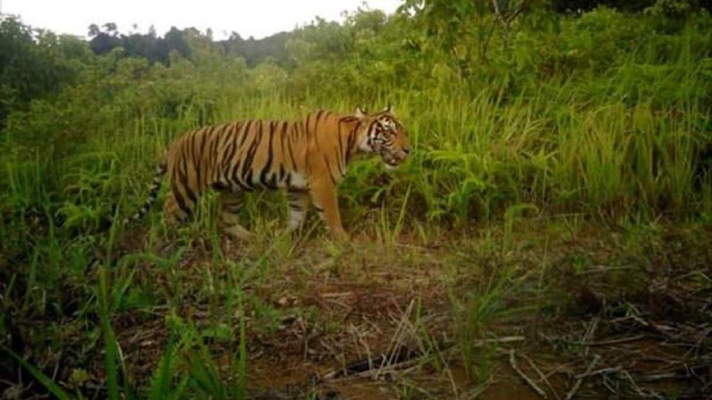 Harimau Masih Berkeliaran di Pagaralam-Lahat, BKSDA Imbau Warga Waspada