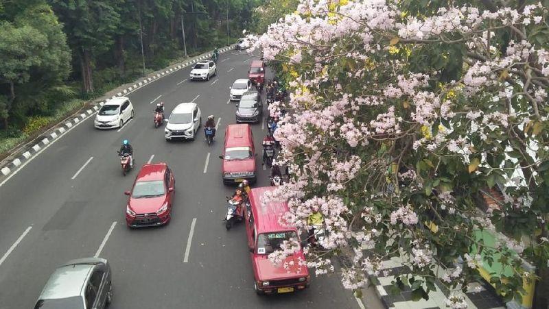 Jalanan di Surabaya tampak makin cantik dengan pemandangan bunga tabebuya yang mekar. Salah satu jalan protokol yang dipenuhi dengan bunga tabebuya yakni di sepanjang Jalan Raya Darmo. (Amir/detikTravel)