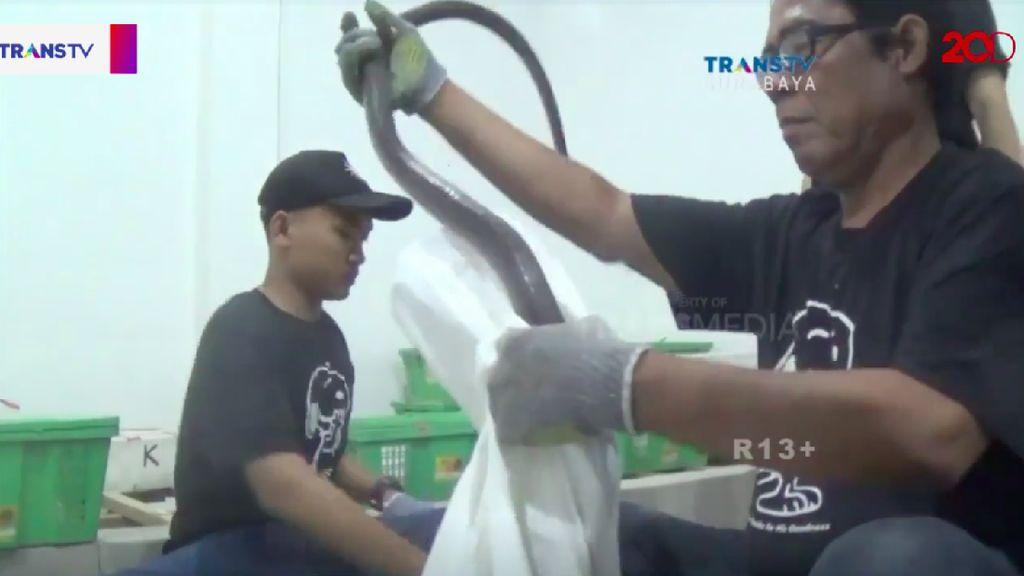 Video: Melihat Ekspor Ular Hidup dari Surabaya ke China