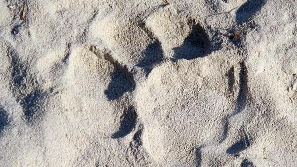 Jejak kaki singa. Dalam safari singa ini, traveler akan menemui beberapa hewan liar lainnya, seperti burung, zebra, antelop, kuda nil hingga jerapah (Tim Johnson/BBC Travel)