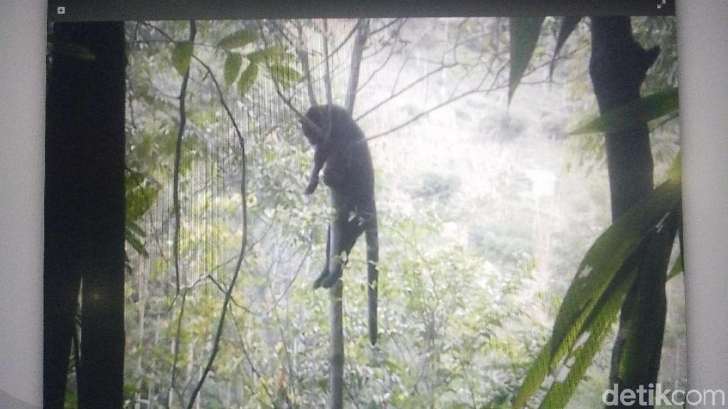 Macan Kumbang Mati Dihujani Peluru oleh Warga Soreang