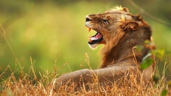 Singa yang terlihat mengibas-kibaskan ekornya sudah siap menyerang dan traveler diharapkan tetap tenang dan bergerombol. Pemandu pun akan menyiapkan senjata (Cameron Spencer/Getty/BBC Travel)