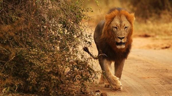Tanda adanya singa adalah membaca perilaku hewan-hewan di sekitar kita, jika terasa sepi maka bisa dipastikan mereka kabur karena ada singa di dekat situ (Cameron Spencer/Getty/BBC Travel)