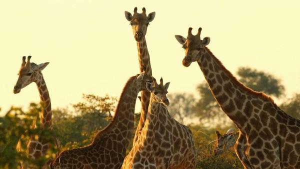 Perjalanan safari singa ini ada di Footsteps Across the Delta, sebuah kamp kecil terpencil di jantung Delta Okavango, Botswana. Banyak jerapah di sana (Cameron Spencer/Getty/BBC Travel)
