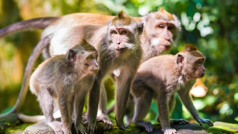 Family of wild long-tailed macaques in the Sangeh monkey forest, Ubud on Bali in Indonesia.