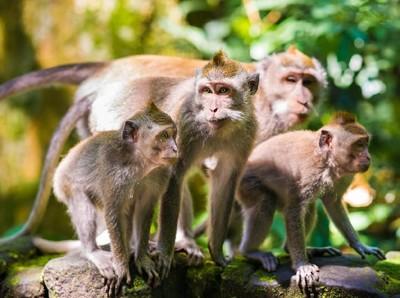 Mengenal Monyet Sangeh yang Galau dan Kelaparan usai Ditinggal Turis