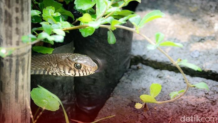 Ilustrasi ular masuk ke rumah (Andhika-detikcom)
