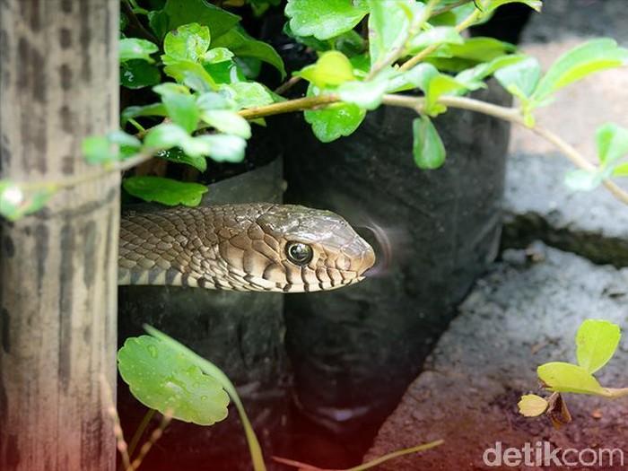 Foto: Ilustrasi ular masuk ke rumah (Andhika-detikcom)