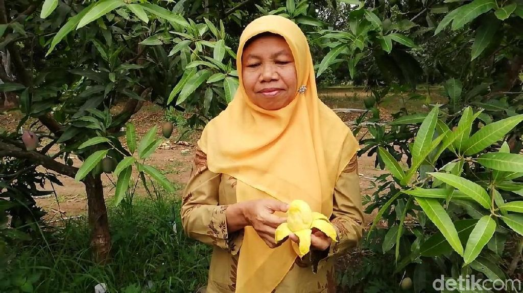 Ini Agri Gardina, Mangga Kupas Seperti Pisang di Pasuruan