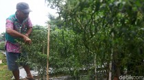 Bertani di Jakarta, Lahan Tidur Disulap Jadi Kebun Cabai