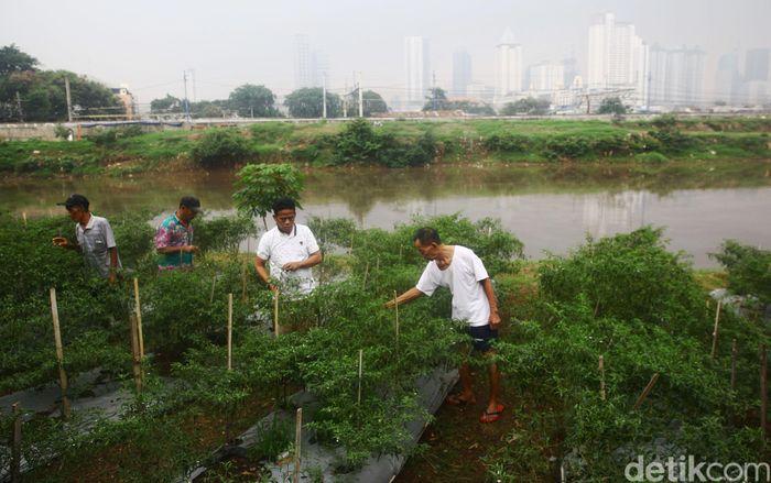 Sejumlah warga Petamburan, Tanah Abang, Jakarta Pusat, memanfaatkan lahan di tepian Kanal Banjir Barat (KBB) untuk bercocok tanam.
