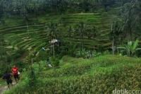 Pelaksanaan subak pun menciptakan hamparan sawah padi yang bertingkat-tingkat yang megah. Hamparan sawah nan tersusun megah ini menjadi salah satu daya tarik wisatawan ke Bali yang tidak akan ditemukan di daerah lain. (Agung Pambudhy)